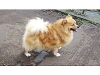 GORGEOUS FEMALE GERMAN SPITZ