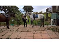 Friendly 16.3h gray mare for share