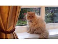 6 months old Persian kitten, ginger boy