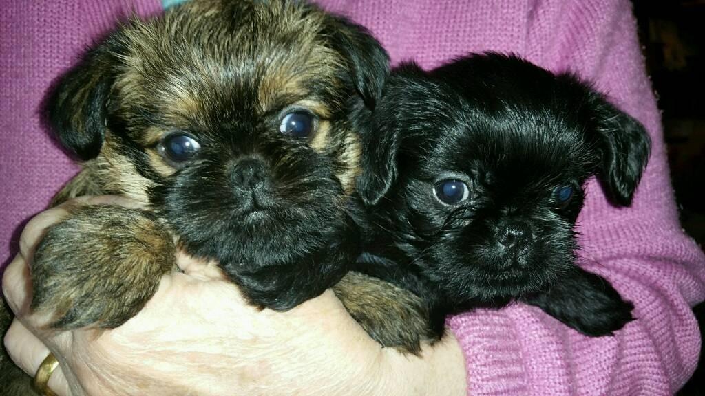 Beautiful Bruxelles Griffon Pedigree Puppies