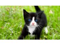 Beautiful black-white kitten
