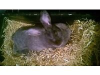 Female flemish giant mix rabbit and bits!