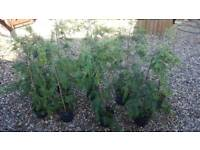 3-4ft potted conifers trees