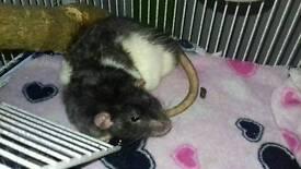 2x male rats