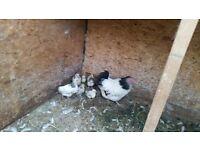 Baby Bantam Chickens