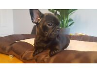 From Litter Of 8 Only 4 Remain..French Bulldog Pups
