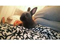 Adorable Xmini lop X netherland dwarf baby bunny with present