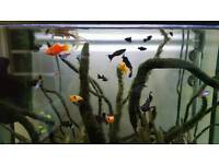 FREE Baby and adult Molly and Platy fish