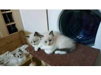 Stunning Ragdoll kittens Only £250.00