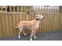 LURCHER DOG 3 YEARS OLD WELL TRAINED