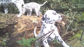 Dalmatian Pups for sale ( 2 available )