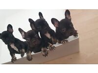 French Bulldog Female Puppies
