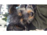 Yorkshire terrier/jack russel
