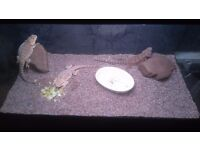 3 Bearded Dragons, tank and cabinate