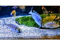 Placidochromis electra. Deepwater Hap