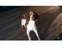 Springer Spaniel 6yrs old - new home wanted