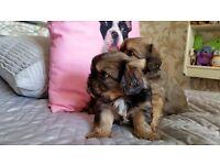 Tibalier puppies for sale £300.00