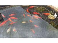 BABY CARP KOI & GOLDFISH £10 PER FISH