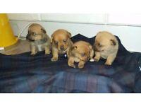 Pom.pin pups
