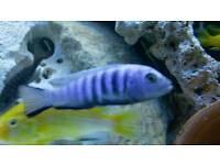 Kingsizi Malawi tropical fish
