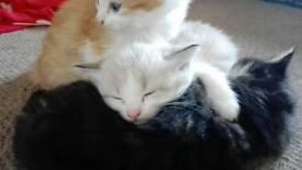 Amazing ragdoll cross kittens for sale