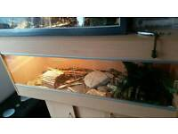 Two female bearded dragons and viv set up