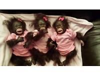 Reborn baby chimps