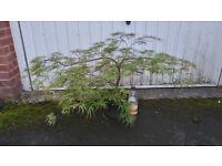 acer tree ( japanese maple )
