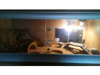 4foot vivarium with option of bearded dragon too