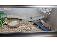 Red Leatherback Bearded Dragon & 4x2 ft Vivarium (with matching under-cabinet) plus extras