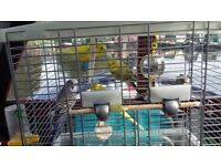 Beautifull budgies for sale