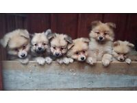The Boy Band! 8 Cute Pomeranian Boy Pups!
