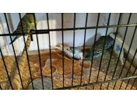 Baby budgies maltby Rotherham s667lp