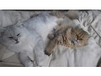 2 Pedigree Persian cats need a new loving home....