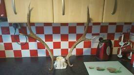 Real stag head
