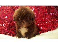 Gorgeous Shih Tzu Chocolate Puppies