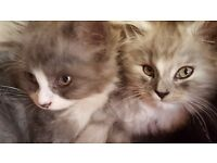 KITTENS - mother Persian & father Angora - looking for loving home!