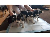 """Jack Russel Puppies """" Only 1 boy left"""""""