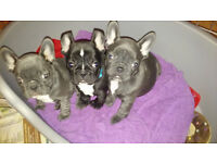 french bulldog puppies 2 left