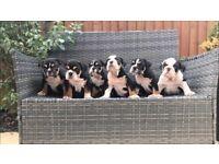 Stunning English bulldogs Black Tan tri kc registered TOP QULITY
