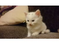 White male kittens: friendly, litter trained, eating well, flead and wormed