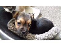 Tiny jack x chihuahua pup