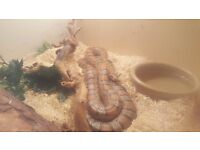 corn snake and tank for sale ASAP