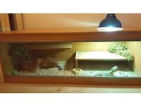 Female Bearded dragon and set up. plus 3ft glass viv extra. Beautiful girl. 7 months old.