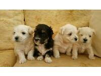 3/4 Maltese Puppies