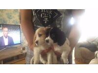 Spaniel puppies