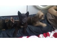 Black German shepard dog 6 mts old