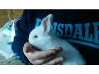 Beautiful, healthy baby lion head rabbits, FOR SALE
