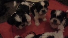 KC registered shih tzu pups for sale