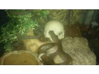 Columbian Rainbow Snake with vivarium